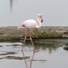 Greater Flamingo (Not in Captivity!!) by susiemc