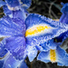 Frosty Iris by dorsethelen