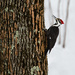 Pileated Woodpecker by skipt07