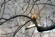 17th Feb 2016 - Red-bellied Woodpecker