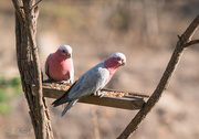 27th Jan 2016 - Just a couple of galahs