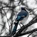 Blue Jay by novab