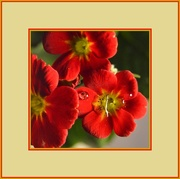 17th Feb 2016 - Red Primrose