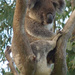 sitting high by koalagardens