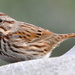 Song sparrow + food = winter on Cape Cod. by sailingmusic