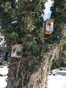 17th Feb 2016 - Birdhouses in a Tree