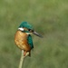 Kingfisher Male by padlock