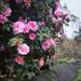 Camellias by dorsethelen