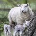 Triplets by shepherdmanswife