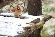 9th Feb 2016 - Birds in Snow