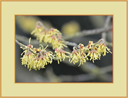 20th Feb 2016 - Witch Hazel Yellow