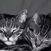 Two Headed Cat! by dianen