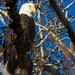 mature bald eagle by mjalkotzy