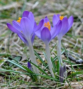 21st Feb 2016 - What ? Crocus are up?