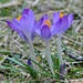 What ? Crocus are up? by sailingmusic