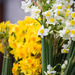 Cornish Daffodils by dorsethelen