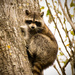 Raccoon sliding down the tree! by rickster549