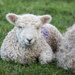 Spring Lamb by dorsethelen