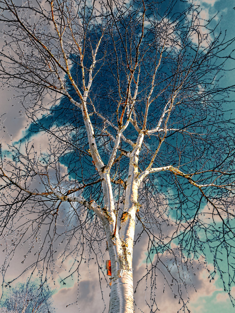 The Birch   by lupus