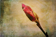 23rd Feb 2016 - Tulip Magnolia