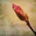 Tulip Magnolia by dsp2