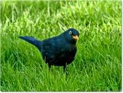 24th Feb 2016 - Mr. Blackbird