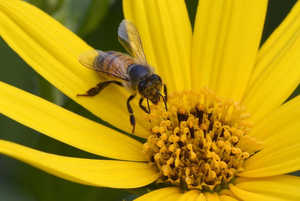 Gathering Pollen_DSC4180 by merrelyn