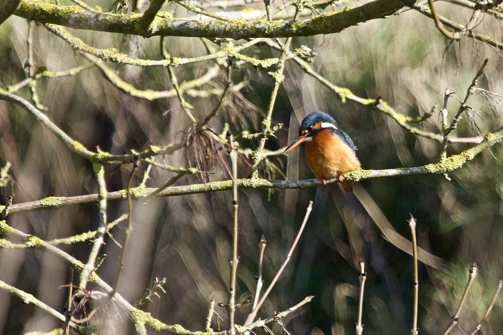Isn't she gorgeous. Female Kingfisher by padlock