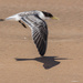 Young tern on the wing by pusspup