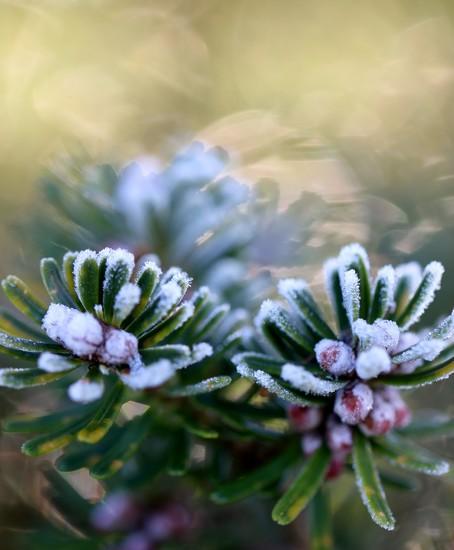 Frosty Fir by motherjane