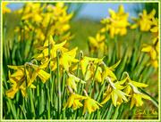 25th Feb 2016 - Daffodils