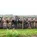 Cattle choir by danette