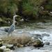 Heron by shirleybankfarm