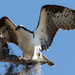 Osprey Showing it's Wings! by rickster549