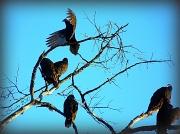 30th Nov 2010 - Vultures