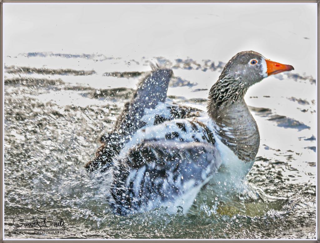 Splishing And Splashing by carolmw