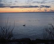 26th Feb 2016 - Lone Swan at Dawn