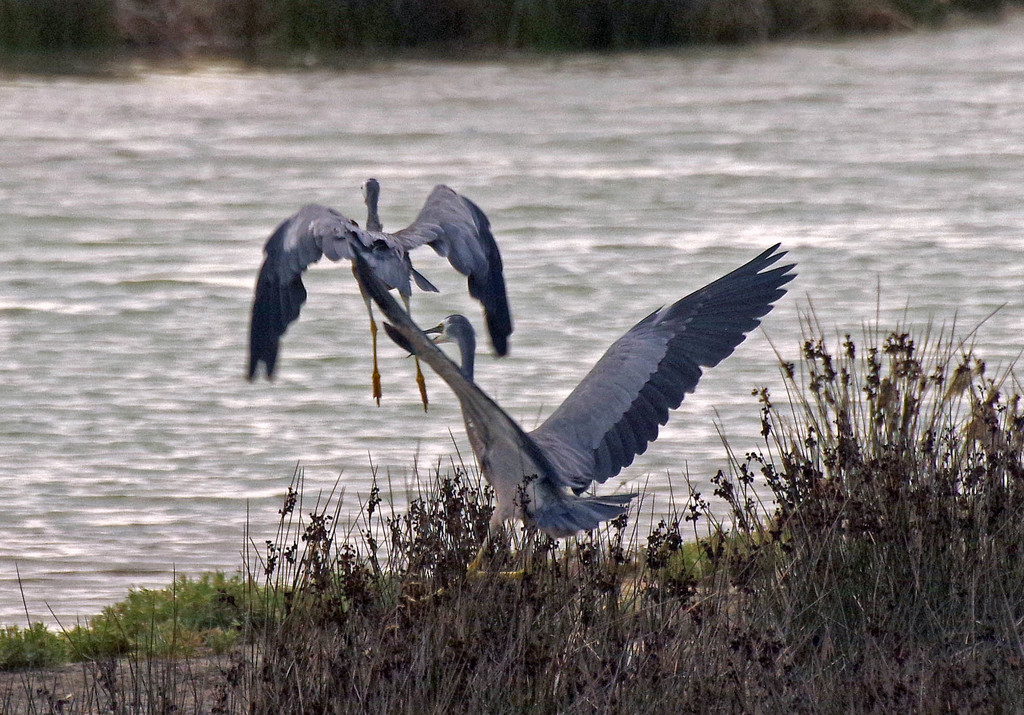 White faced herons at the estuary by maureenpp