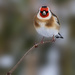 Goldfinch by shepherdmanswife