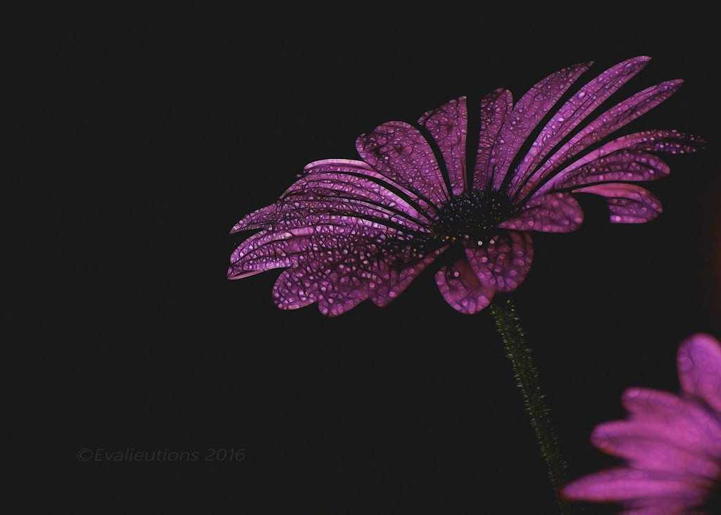 Outside the kitchen window: A study in pink by evalieutionspics