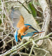 27th Feb 2016 -  2016 02 27 Kingfisher mating