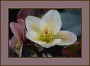 25th Feb 2016 - hellebore group