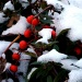 Berries in the snow by geertje