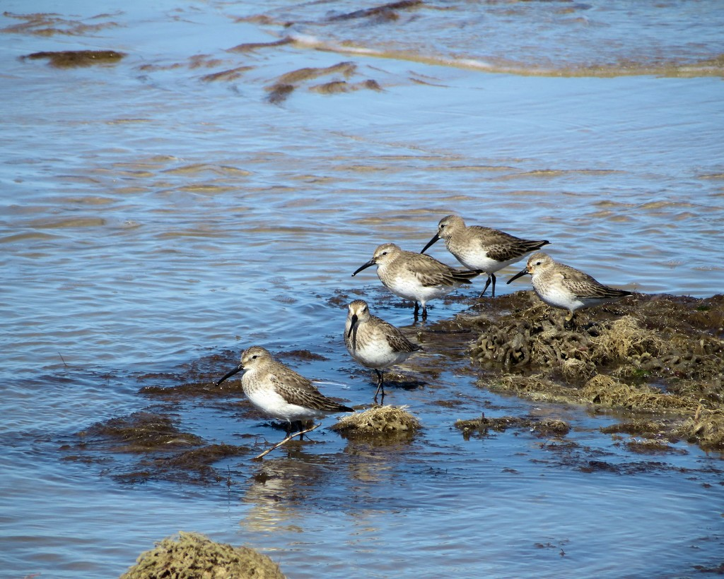 Dunlins by dmariewms