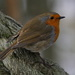 A RATHER ROPEY ROBIN by markp