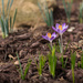 The Song Of The Crocus Fairies on 365 Project