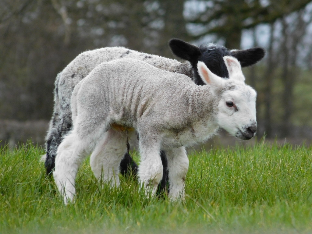 There WILL be Lambs! by anniesue