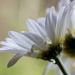 Daisy, Daisy....... by jankoos