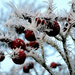 Frosted berries.... by snowy
