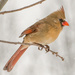 Another Ms Cardinal  by dridsdale